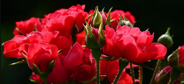 Mulching For Roses